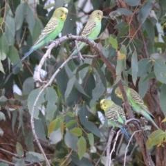 Melopsittacus undulatus (Budgerigar) at Mullion, NSW - 27 Dec 2020 by redsnow