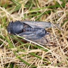 Psaltoda moerens (Redeye Cicada) at ANBG - 29 Dec 2020 by RodDeb