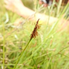 Eleocharis atricha (Tuber spikerush) at Mulligans Flat - 30 Dec 2020 by Liam.m