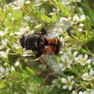 Rutilia (Donovanius) sp. (genus & subgenus) at Acton, ACT - 29 Dec 2020