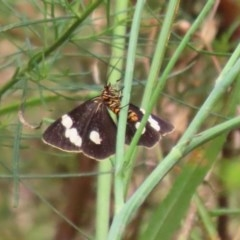 Nyctemera amicus (Senecio or Magpie moth) at ANBG - 29 Dec 2020 by RodDeb