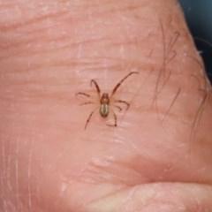 Cryptachaea veruculata (Diamondback comb-footed spider) at Acton, ACT - 29 Dec 2020 by RodDeb