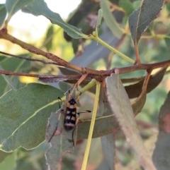 Gynoplistia (Gynoplistia) bella (A crane fly) at Murrumbateman, NSW - 30 Dec 2020 by SimoneC