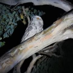 Podargus strigoides (Tawny Frogmouth) at Wanniassa Hill - 25 Dec 2020 by Liam.m