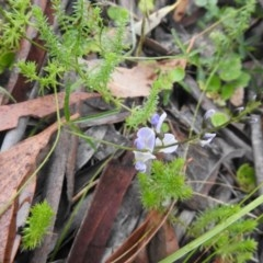 Glycine clandestina (Twining glycine) at Namadgi National Park - 28 Dec 2020 by Liam.m