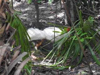 Alectura lathami (Australian Brush-turkey) at Noosa Heads, QLD - 16 Dec 2020 by Liam.m