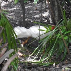 Alectura lathami (Australian Brush-turkey) at Noosa Heads, QLD by Liam.m