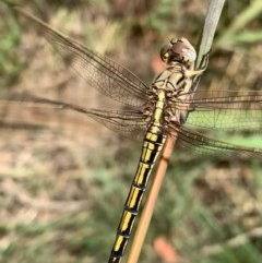 Orthetrum caledonicum (Blue Skimmer) at Murrumbateman, NSW - 30 Dec 2020 by SimoneC