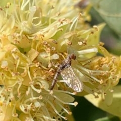 Ephemeroptera sp. (order) (Unidentified Mayfly) at Murrumbateman, NSW - 30 Dec 2020 by SimoneC