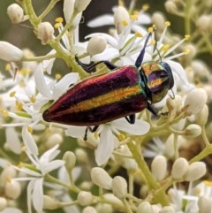 Selagis aurifera (Aurifera jewel beetle) at Red Hill Nature Reserve - 26 Dec 2020 by JackyF