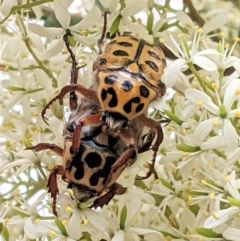 Neorrhina punctata (Spotted Flower Chafer) at Red Hill Nature Reserve - 26 Dec 2020 by JackyF