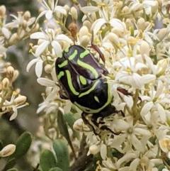 Eupoecila australasiae at Red Hill Nature Reserve - 26 Dec 2020