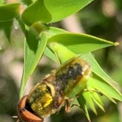 Odontomyia sp. (genus) (Soldier fly) at Murrumbateman, NSW - 30 Dec 2020 by SimoneC