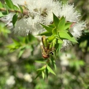 Odontomyia sp. (genus) at Murrumbateman, NSW - 30 Dec 2020