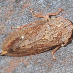 Stenocotis depressa (Leafhopper) at Acton, ACT - 28 Dec 2020 by Harrisi