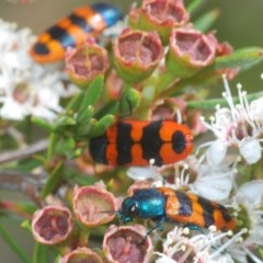 Castiarina crenata (Crenata jewel beetle) at Black Mountain - 28 Dec 2020 by Harrisi