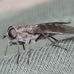 Dasybasis sp. (genus) at ANBG - 29 Dec 2020