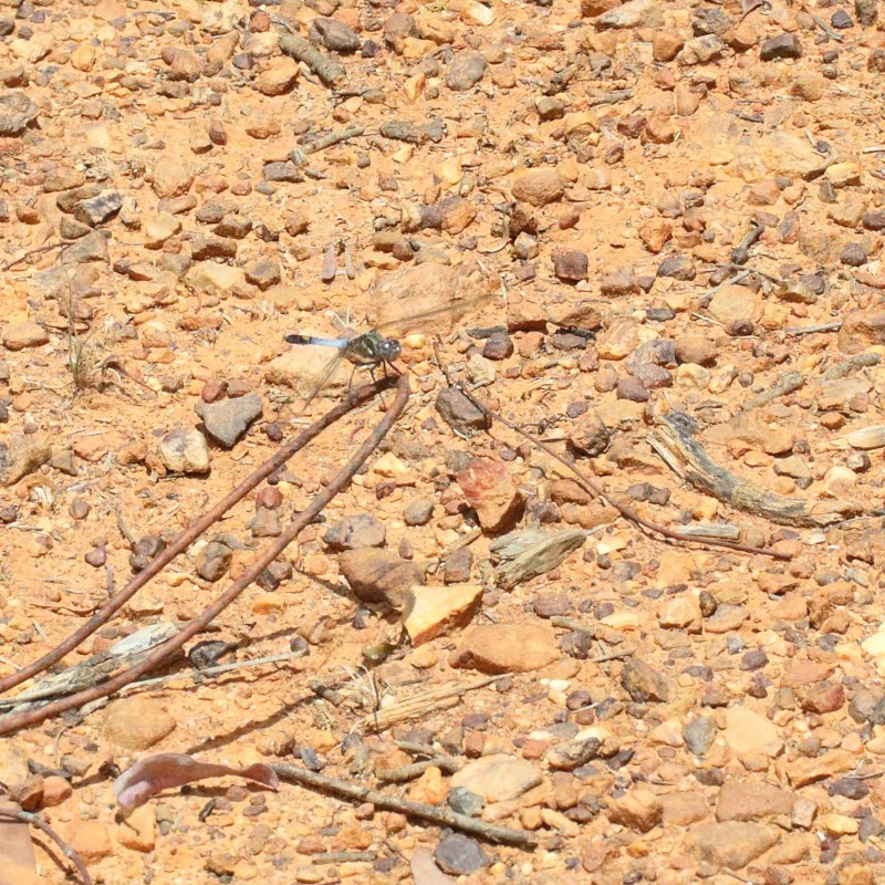 Orthetrum caledonicum at Dryandra St Woodland - 30 Dec 2020