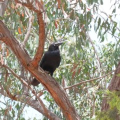 Corvus coronoides (Australian Raven) at Dryandra St Woodland - 30 Dec 2020 by ConBoekel