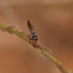Cerdistus sp. (genus) (Robber fly) at Red Hill Nature Reserve - 30 Dec 2020 by LisaH