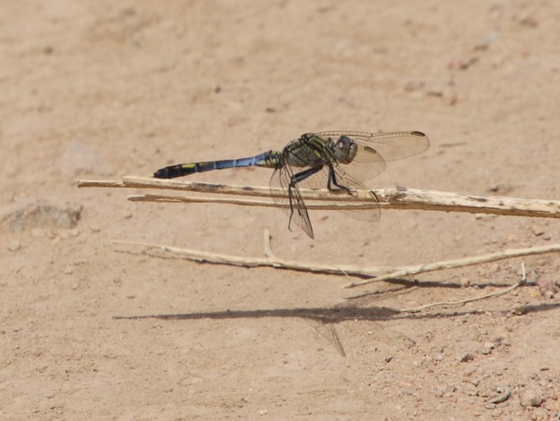 Orthetrum caledonicum at Red Hill Nature Reserve - 30 Dec 2020