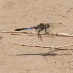 Orthetrum caledonicum (Blue Skimmer) at Red Hill Nature Reserve - 30 Dec 2020 by LisaH