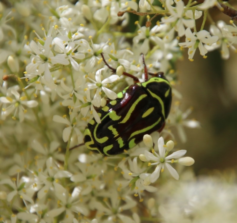 Eupoecila australasiae at Red Hill Nature Reserve - 30 Dec 2020