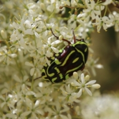 Eupoecila australasiae (Fiddler Beetle) at Red Hill Nature Reserve - 30 Dec 2020 by LisaH