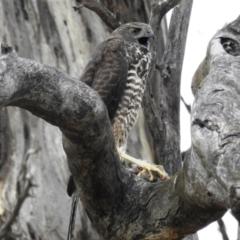 Accipiter fasciatus (Brown Goshawk) at Stromlo, ACT - 30 Dec 2020 by HelenCross