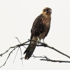 Falco berigora (Brown Falcon) at Kambah, ACT - 30 Dec 2020 by HelenCross
