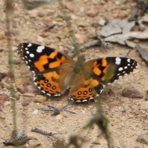 Vanessa kershawi (Australian Painted Lady) at East Boyd State Forest by Kyliegw