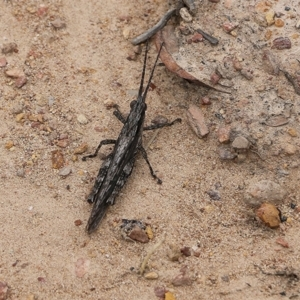 Coryphistes ruricola (Bark-mimicking Grasshopper) at East Boyd State Forest by Kyliegw