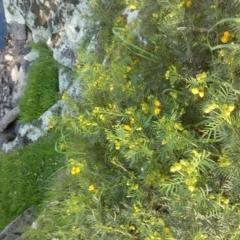Senna aciphylla (Sprawling Cassia) at Jones Creek, NSW - 30 Sep 2015 by abread111