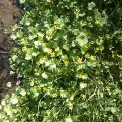 Ranunculus muricatus (Sharp Buttercup) at Jones Creek, NSW - 30 Sep 2015 by abread111