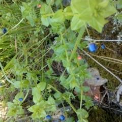 Lysimachia arvensis (Scarlet Pimpernel, Blue Pimpernel) at Jones Creek, NSW - 30 Sep 2015 by abread111