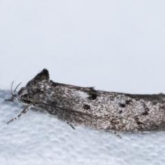 Heterozyga coppatias (A concealer moth) at Melba, ACT - 14 Dec 2020 by kasiaaus