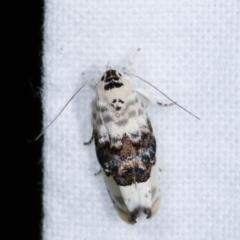Piloprepes antidoxa (A concealer moth) at Melba, ACT - 14 Dec 2020 by kasiaaus