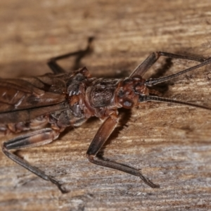 Plecoptera sp. (order) at Melba, ACT - 14 Dec 2020