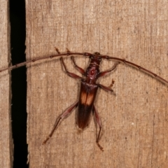Epithora dorsalis (Longicorn Beetle) at Melba, ACT - 14 Dec 2020 by kasiaaus