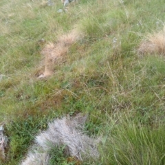 Nassella trichotoma (Serrated Tussock) at Jones Creek, NSW - 20 Oct 2015 by abread111