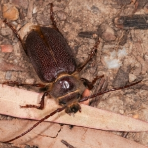 Sceleocantha glabricollis at Melba, ACT - 14 Dec 2020