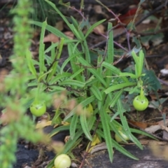 Unidentified Other Wildflower (TBC) at East Boyd State Forest - 30 Dec 2020 by Kyliegw