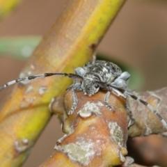 Ancita marginicollis (A longhorn beetle) at ANBG - 29 Dec 2020 by TimL