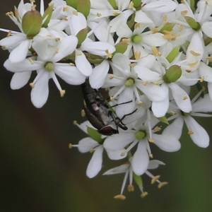 Unidentified Fly (Diptera) (TBC) at suppressed by Kyliegw