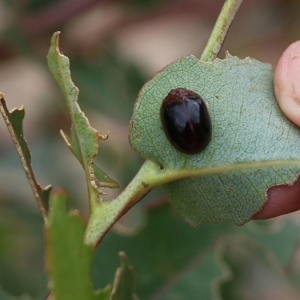 Unidentified Beetle (Coleoptera) (TBC) at suppressed by Kyliegw