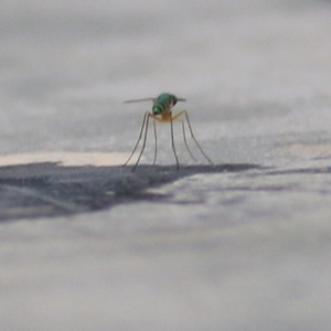 Unidentified Crane Fly / Mosquito / Gnat (lower flies) (TBC) at suppressed by Kyliegw