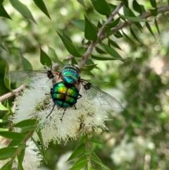 Rutilia (Chrysorutilia) formosa (A Bristle fly) at Murrumbateman, NSW - 31 Dec 2020 by SimoneC
