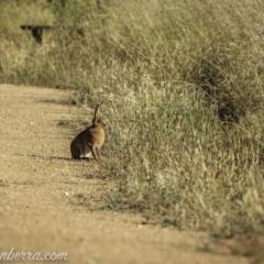 Lepus capensis (Brown Hare) at Kowen, ACT - 26 Dec 2020 by BIrdsinCanberra