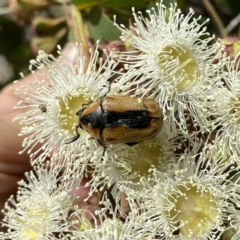 Chondropyga dorsalis (Cowboy Beetle) at Wandiyali-Environa Conservation Area - 30 Dec 2020 by Wandiyali
