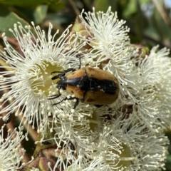Chondropyga dorsalis at Wandiyali-Environa Conservation Area - 30 Dec 2020